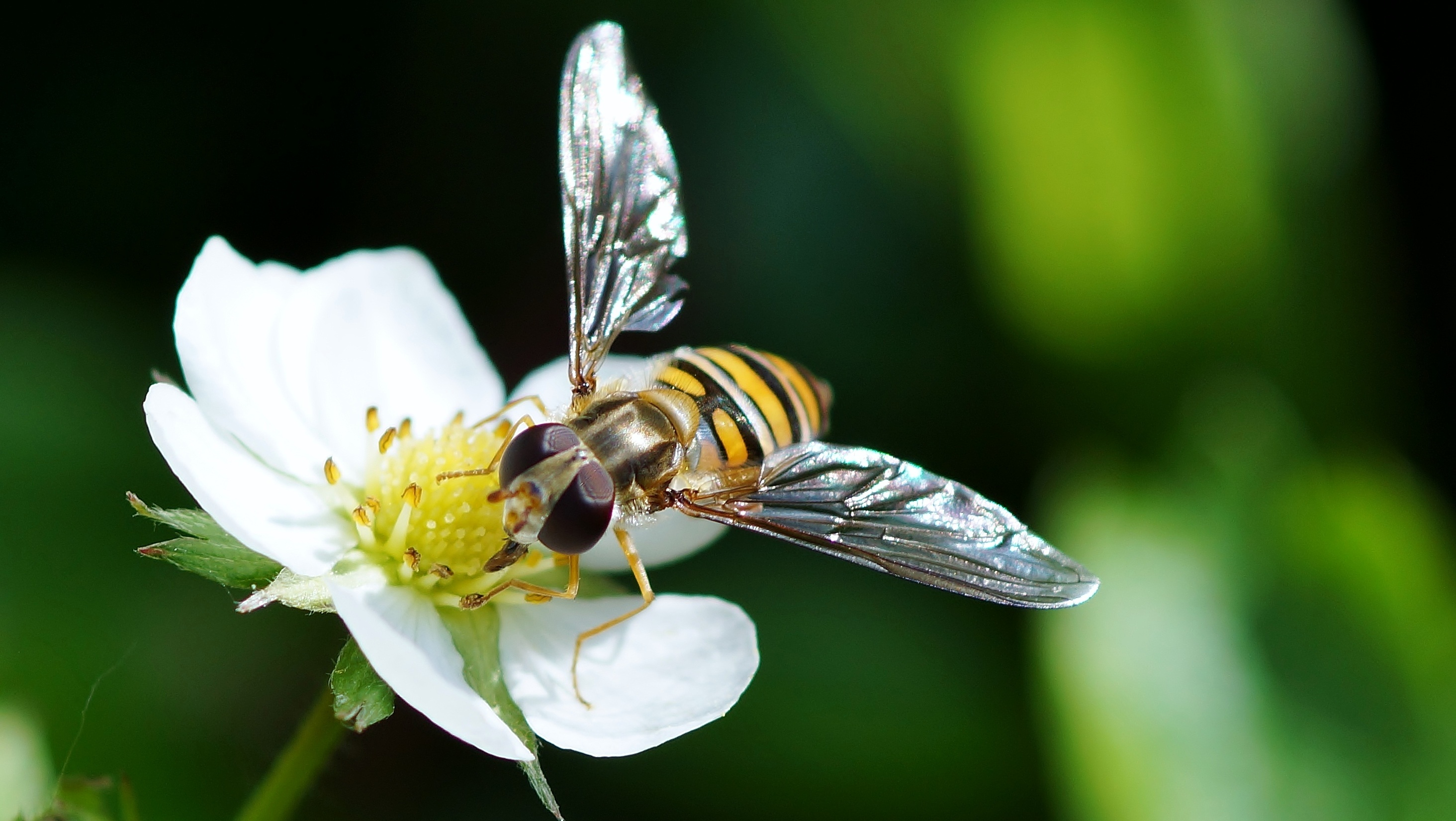 Bee pollination drone insect flower