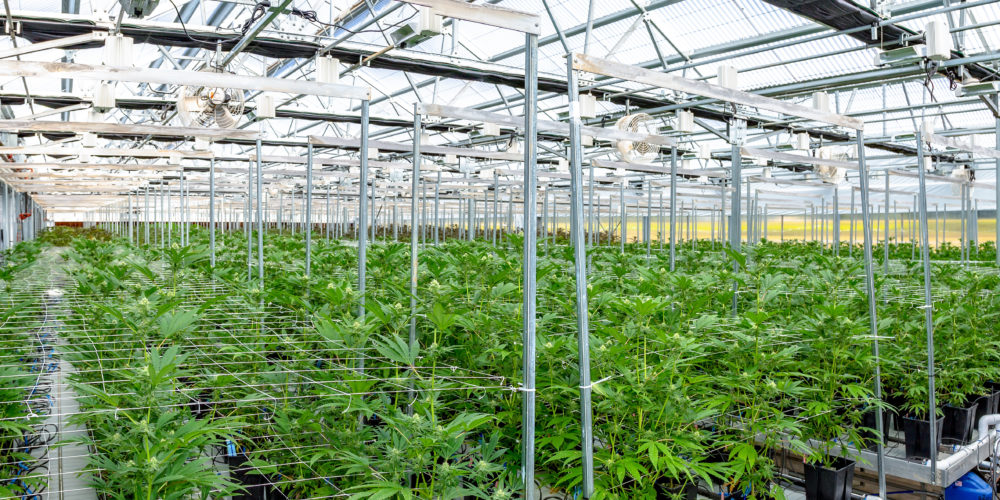 Robots for Cannabis Production Show High Growth Potential